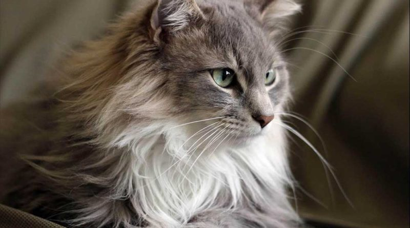 Why You Should Get a Maine Coon Cat
